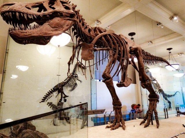 Se observa un fosil de un dinosaurio en una de las exposiciones del Museo de Historia Natural en Nueva York