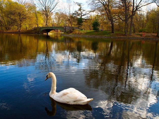 Se observa un pato y el lago de Prospect Park en Nueva York, al fondo de la imagen vemos los arboles marrones y un puente que cruza el lago